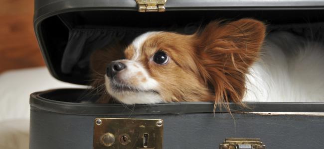 Vai viajar com o seu Pet?!