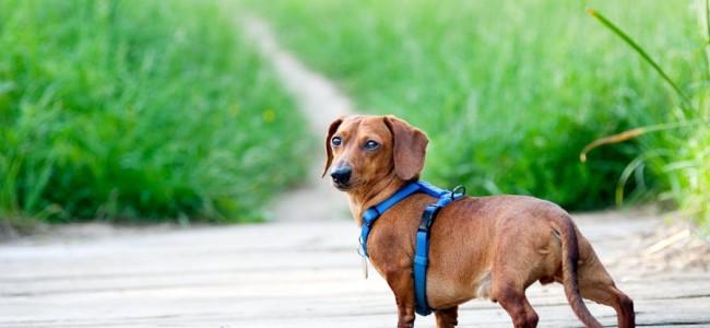 Que tipo de coleira seu cachorro usa?