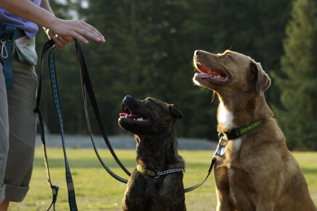 Seu cão puxa durante os passeios?