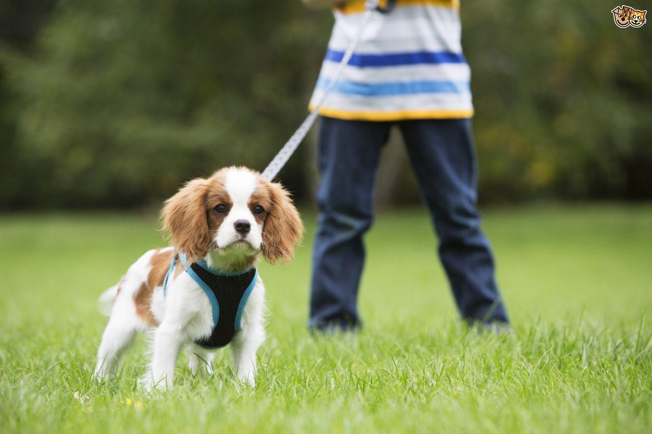 10 cuidados durante o passeio com seu Cão