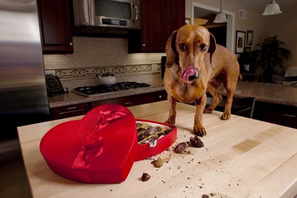 Chocolate é proibido para os pets!