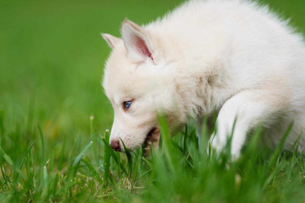 Cães comem grama