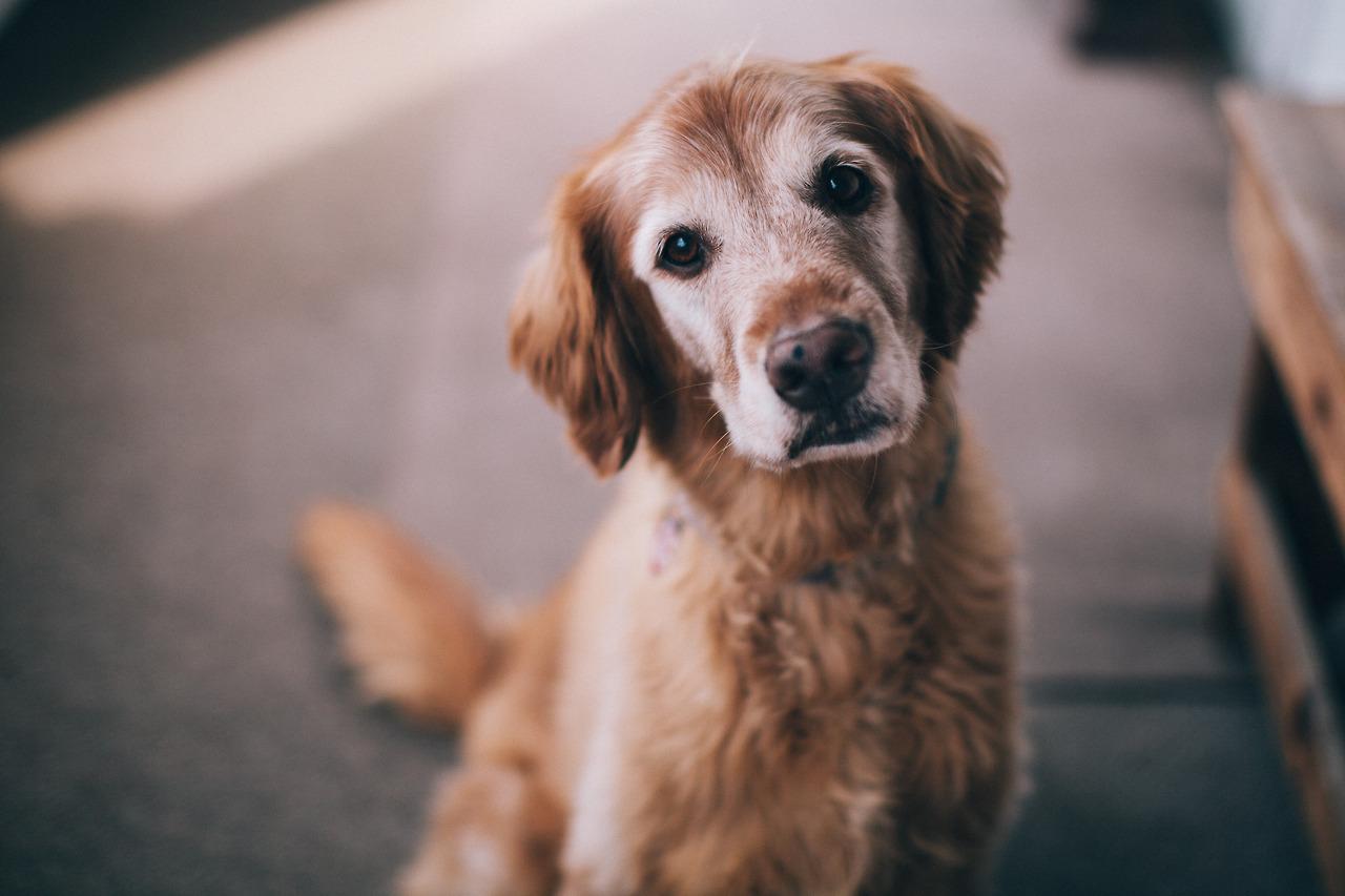 Cuidados com o Cão Idoso