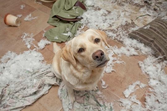 Objetos destruídos podem causar problemas, o enchimento de brinquedos, camas, almofadas e pedaços de tecido podem fazer os peludos engasgarem.