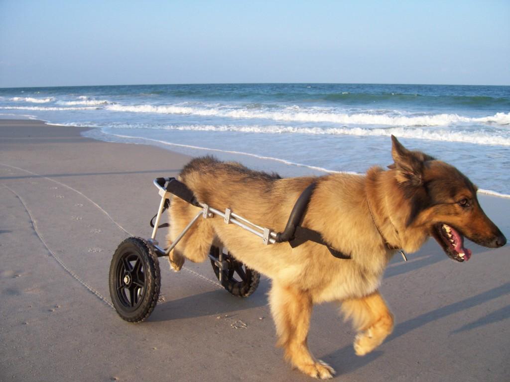 Cães se adaptam bem à cadeiras de rodas