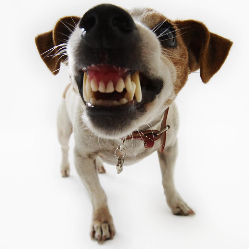 Quando o cão se sente ameaçado pode atacar, é preciso cuidado para reverter a situação!