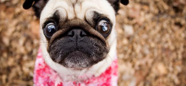 Cães e a saúde dos olhos