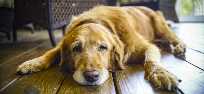 Prevenção da Displasia em Cães