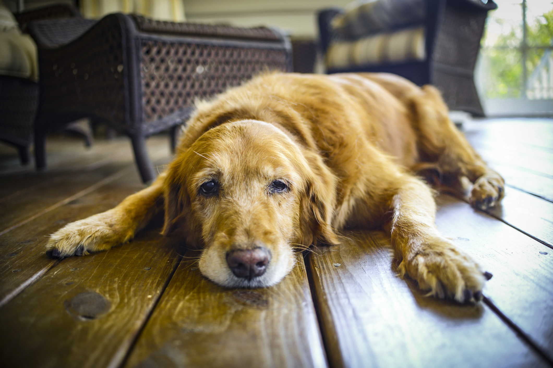 Como prevenir a Displasia Coxofemoral em Cães
