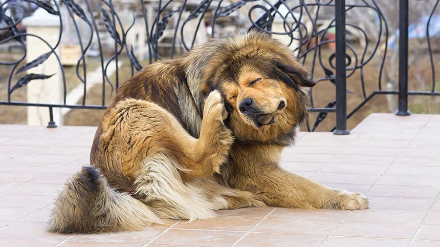 Pulgas podem inclusive causar doenças no animal! Cuide do seu animal e previna essa praga!