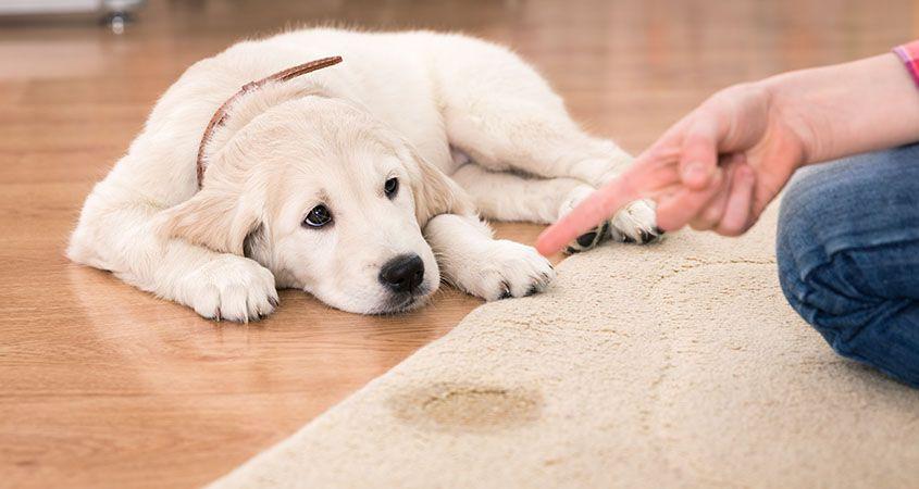 O que NÃO fazer na hora de treinar seu cão para fazer xixi e cocô no lugar correto!