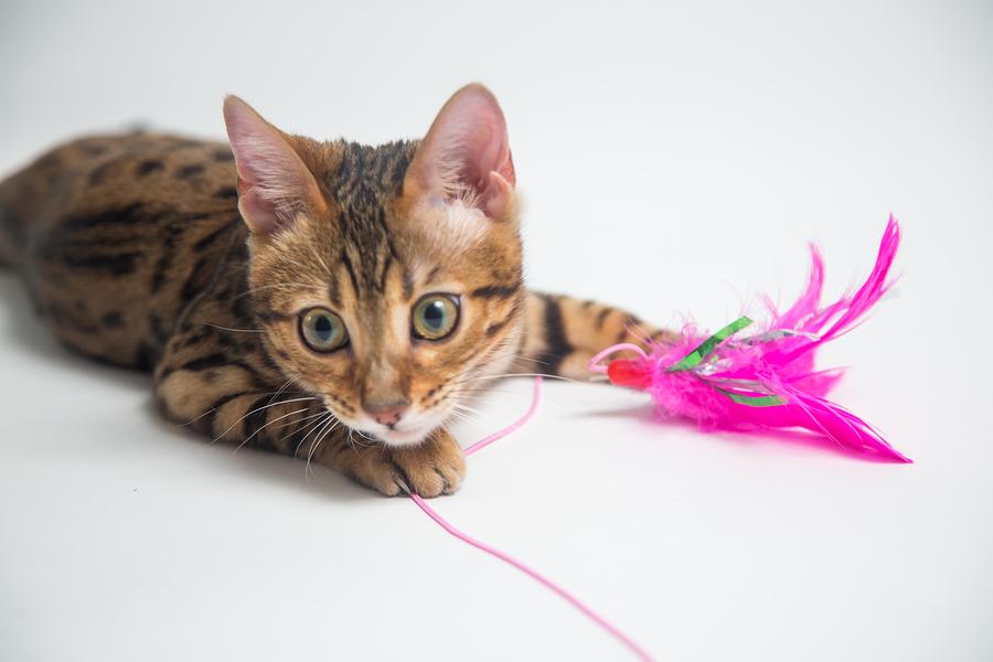 Brincar e estimular o seu Gato é muito importante