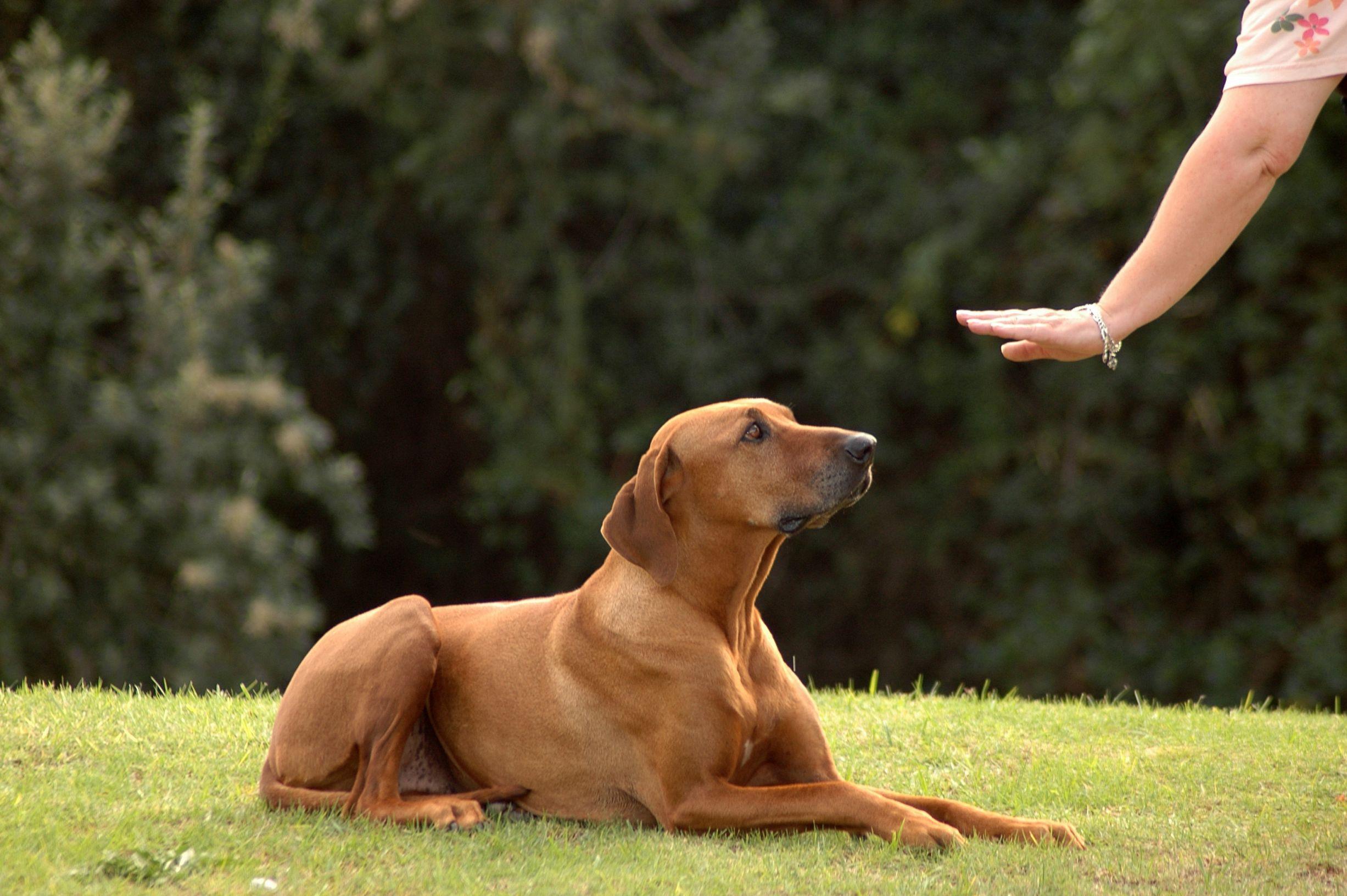 Você mesmo pode ensinar alguns truques para o seu cão, comandos simples como sentar, deitar e ficar podem te ajudar a controlar o seu cão cheio de energia!