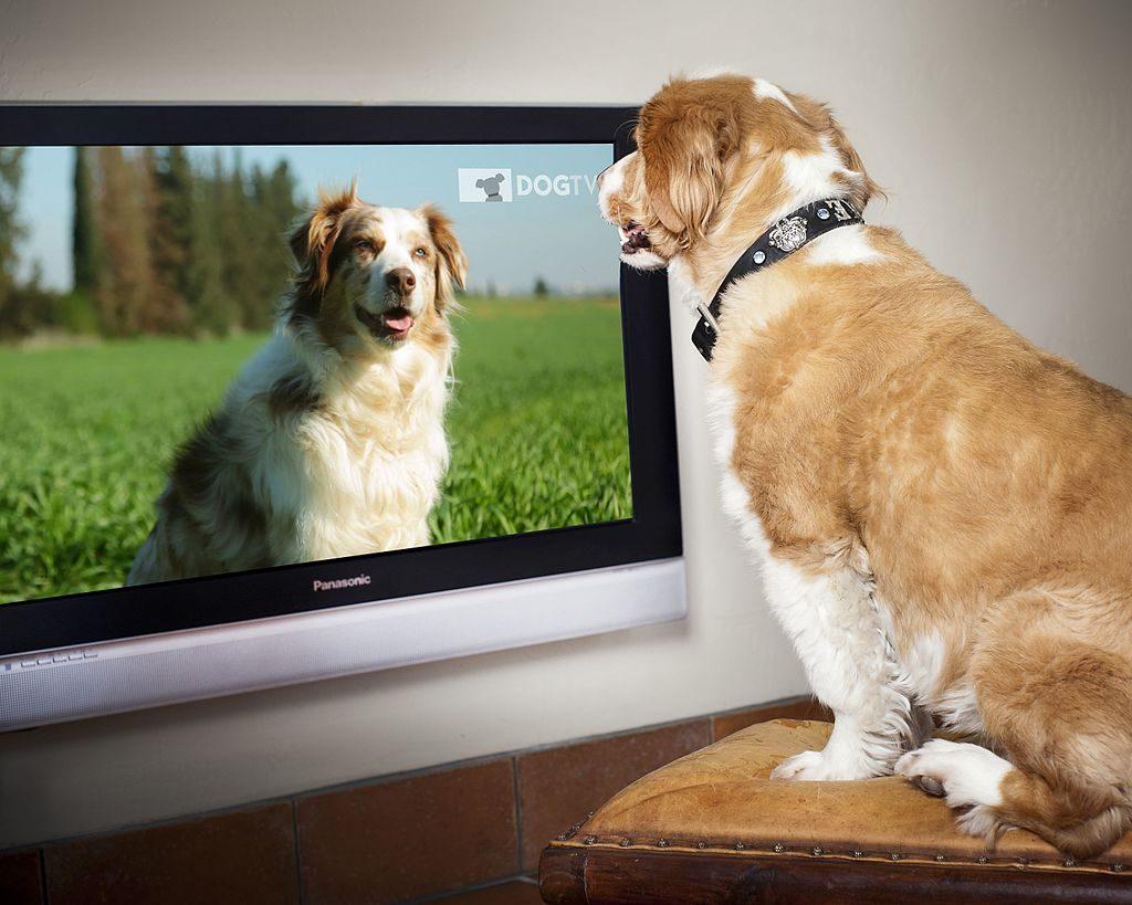 Alguns Cães gostam de assistir TV, experimente canais como o Animal Planet para descobrir se seu cãozinho se interessa!