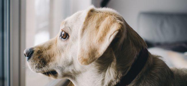 A ansiedade da separação é bastante comum em Cães, mas separamos algumas dicas para acalmá-los enquanto você estiver fora de casa!