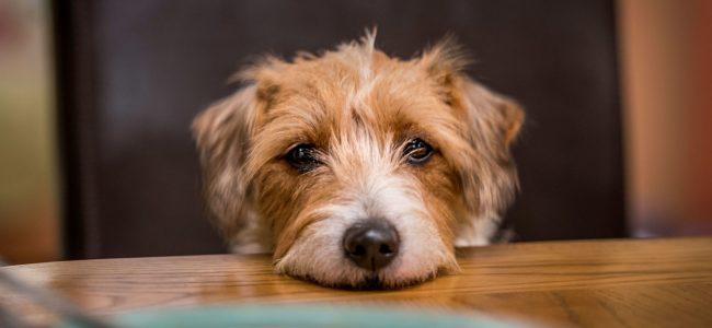 Pedir comida é um comportamento comum entre os cães, muitas vezes reforçado pelo próprio dono. Saiba como reverter isso!