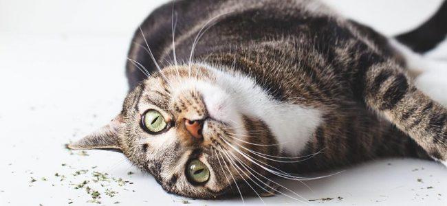 A Erva do Gato pode ser utilizada tanto para acalmar gatos hiperativos como para animar gatos entediados e estressados.