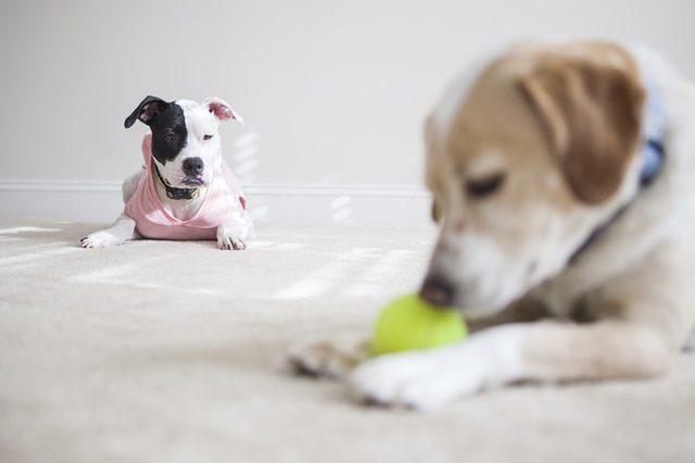 Eles sentem ciúmes, principalmente de outro cão com relação ao dono, mas podem sentir ciúmes de objetos, pessoas, etc.