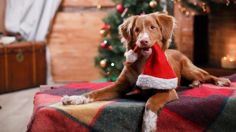 Festas de Fim de Ano: 29 Cuidados com os Pets
