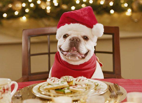 As comidas oferecidas nas Festas são muito gordurosas e podem fazer mal aos pets.