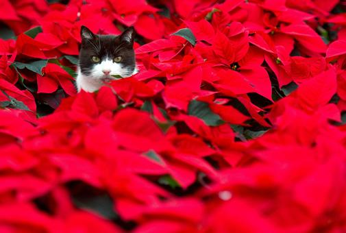 A maioria das Plantas típicas das Festas são tóxicas para os Pets, melhor decorar com as artificiais para não correr risco!