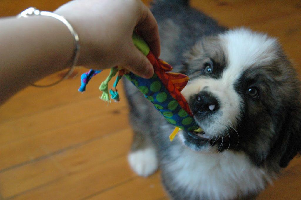 O brinquedo da foto é o Bastão Geladinho da Petstages, que pode ser levado ao freezer e tem efeito analgésico para os dentinhos e gengiva.