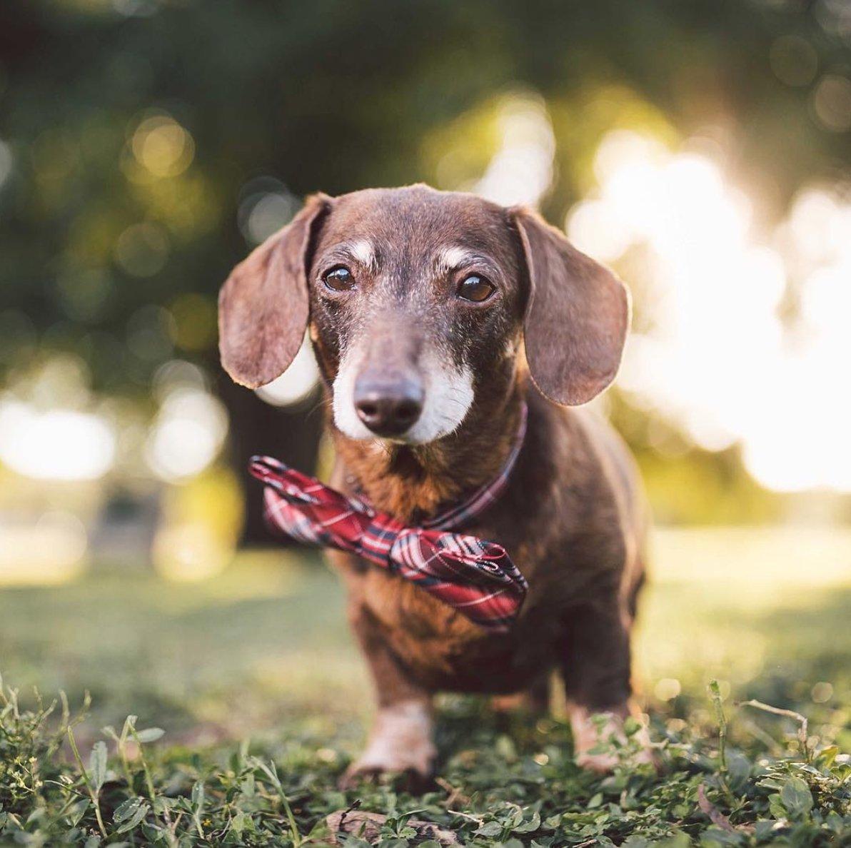 Já tem pelos brancos ao redor do focinho do seu Cão? Sabia que eles ficam grisalhos pelos mesmos motivos que nós, humanos? Vem ler no blog!