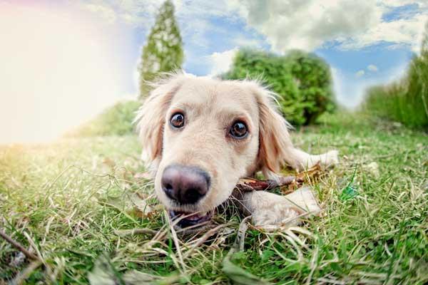 Só deve procurar o Veterinário caso o Cão coma frequentemente e vomite todas as vezes que consome grama.