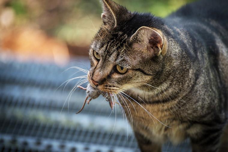 """Se o gato não tem acesso a presas de verdade, você precisa """"criar"""" presas de brinquedo para ele caçar dentro de casa!"""