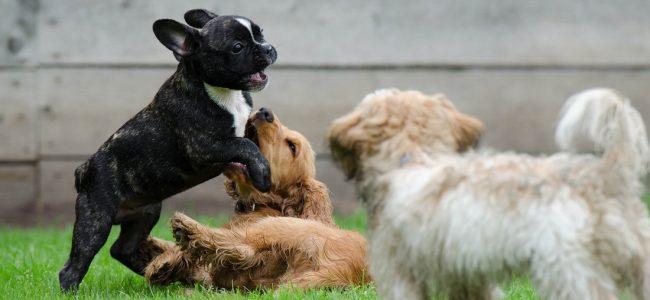 Briga entre cães é algo que todo dono quer evitar, antes de tudo é importante saber diferenciar da brincadeira, e quando deve sim intervir e separar os cães! Saiba mais!