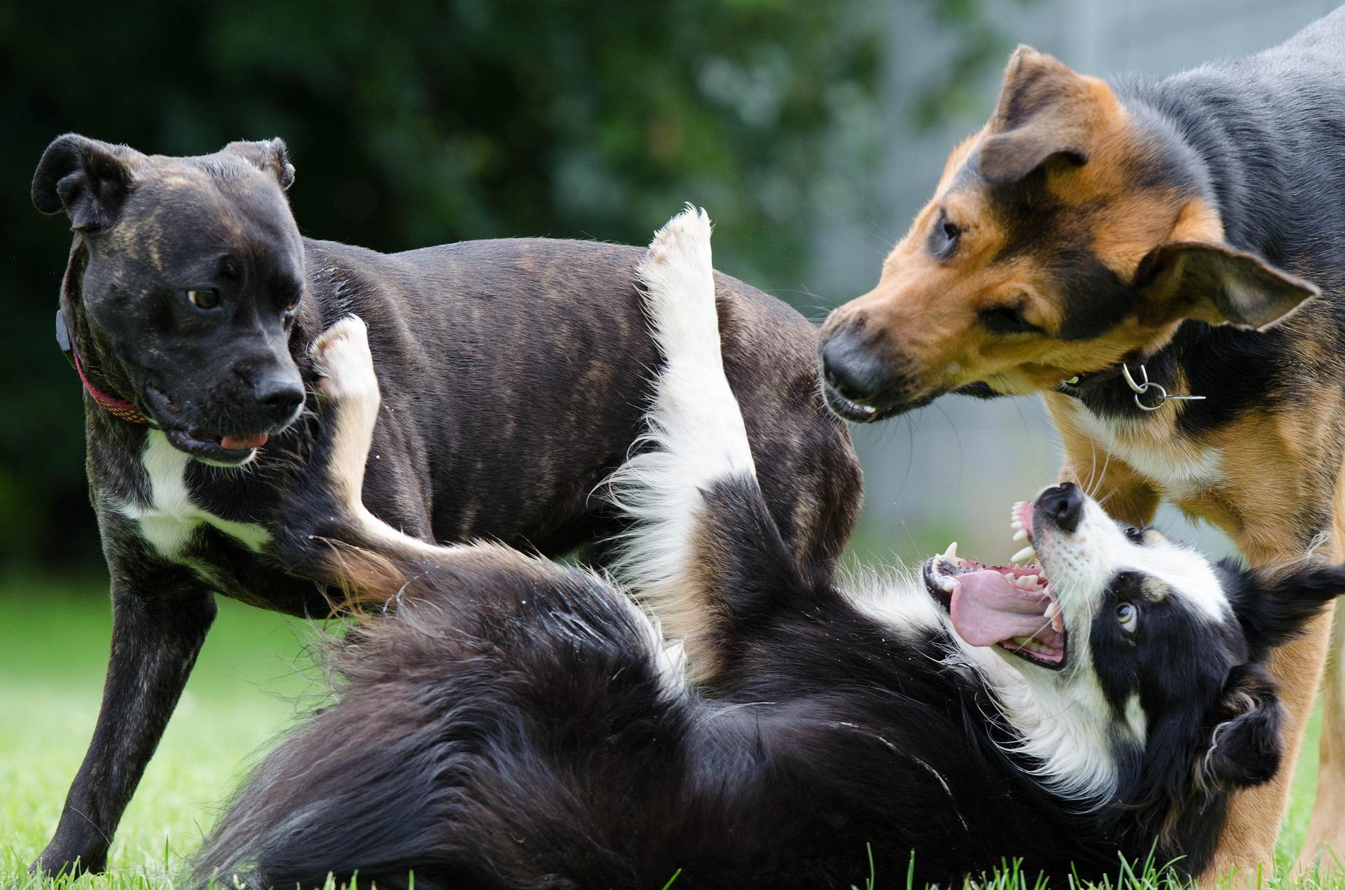 Quando são 3 ou mais cães envolvidos na brincadeira, é mais propenso a evoluir para uma briga.
