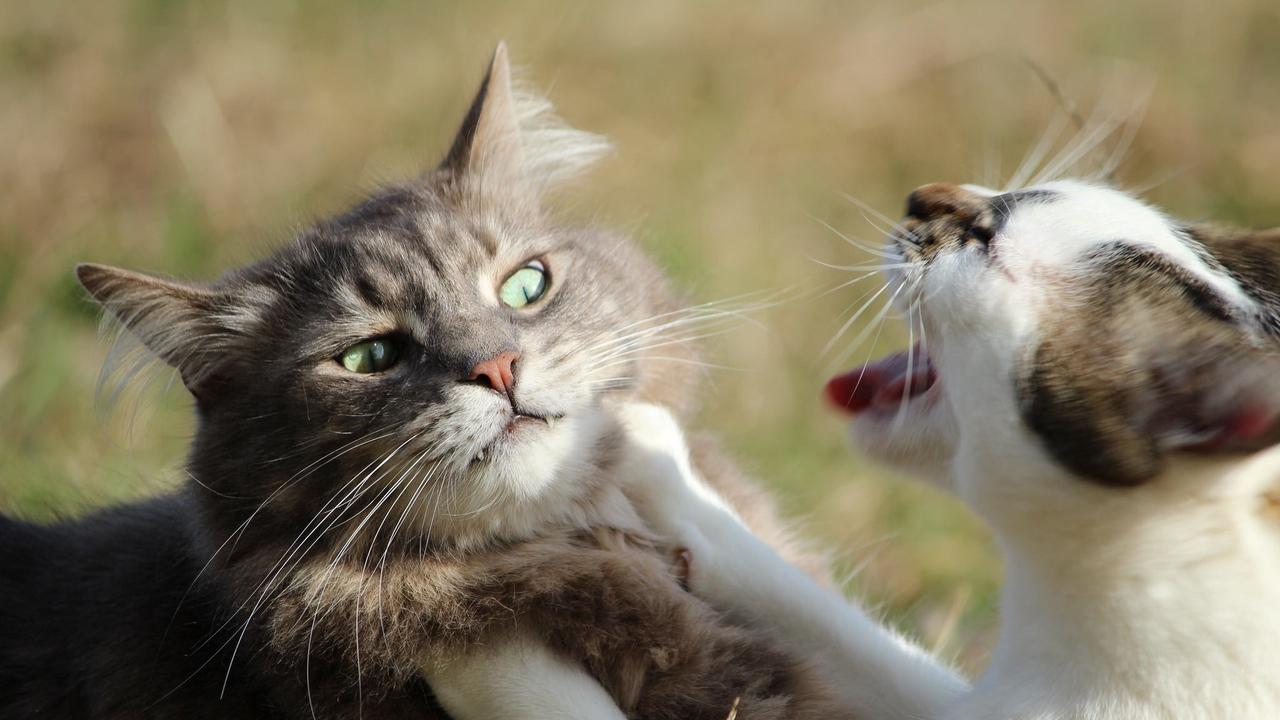 Qualquer mudança na rotina pode tornar o felino agressivo.