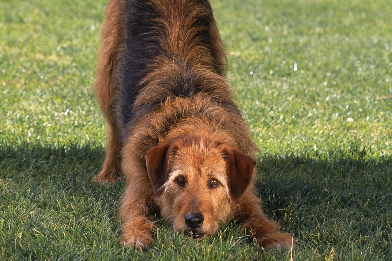 """Posição do """"arco"""" é como o cão convida o outro para a brincadeira, patas dianteiras e peito no chão, patas traseiras erguidas e quadril no alto."""