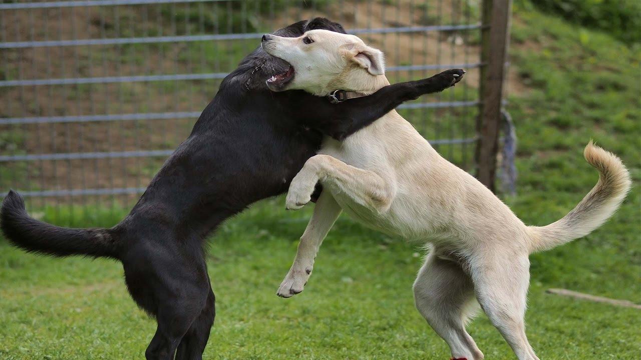 As brincadeiras entre cães geralmente são mais agressivas do que parecem, e por isso é tão dificil diferenciar da briga em si.