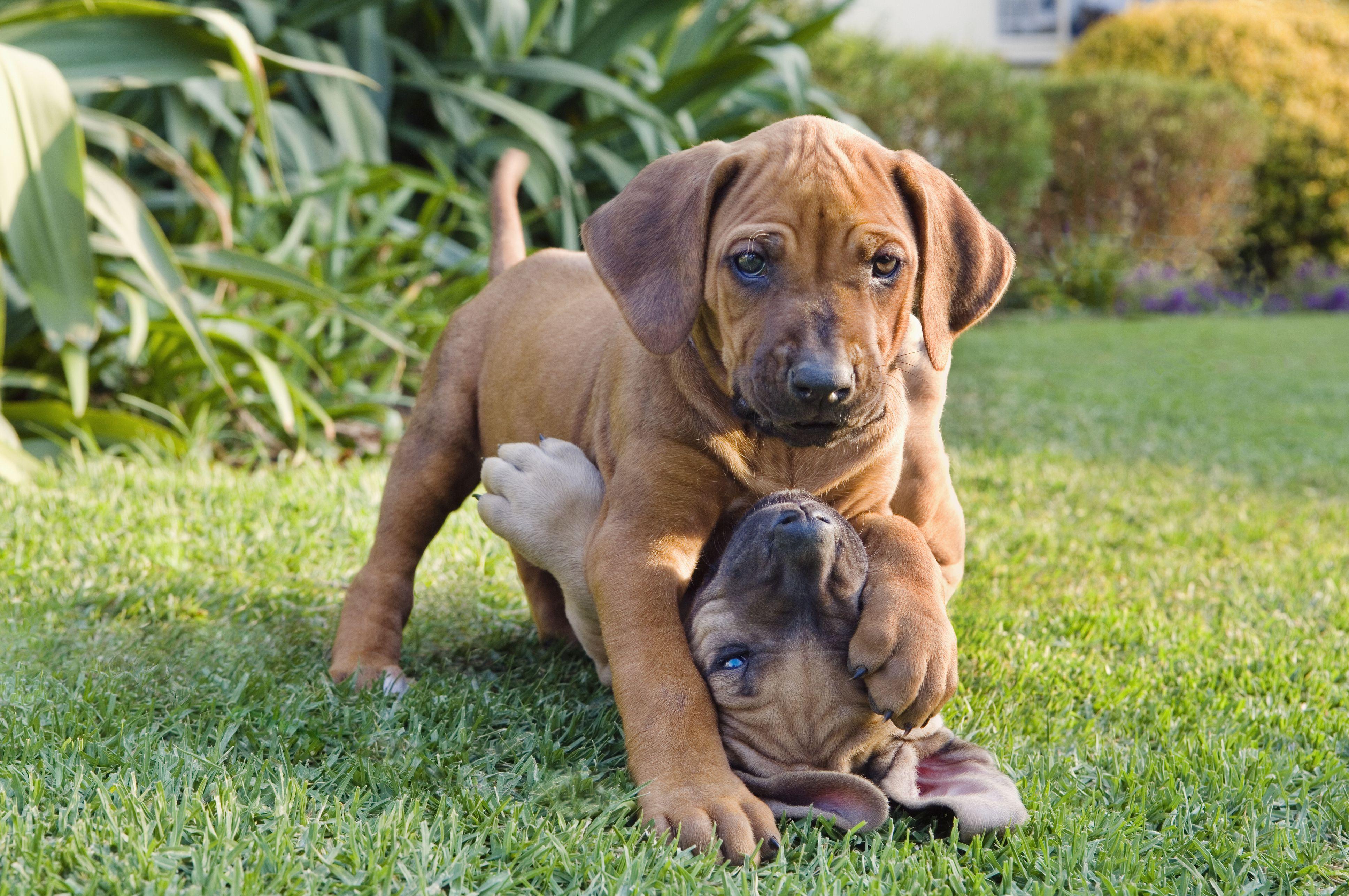 Cães bem socializados são menos propensos a brigar.