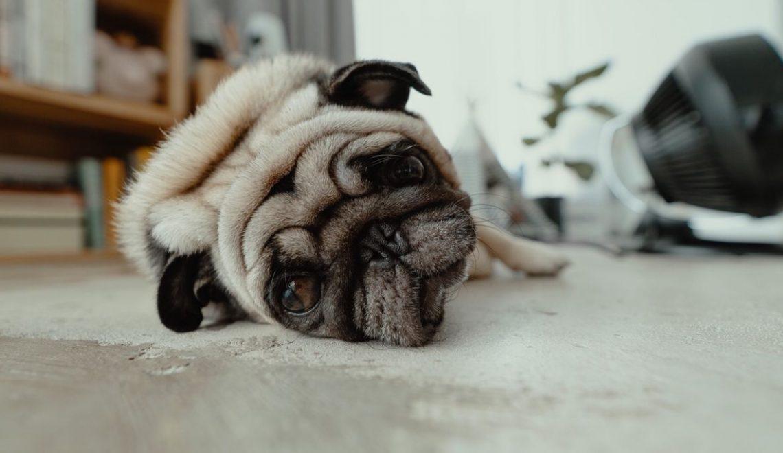 Quando o cachorro tá fedido e nenhum xampu dá jeito, o ideal é procurar o vet para investigar se não é algum problema de saúde causando o mau odor.