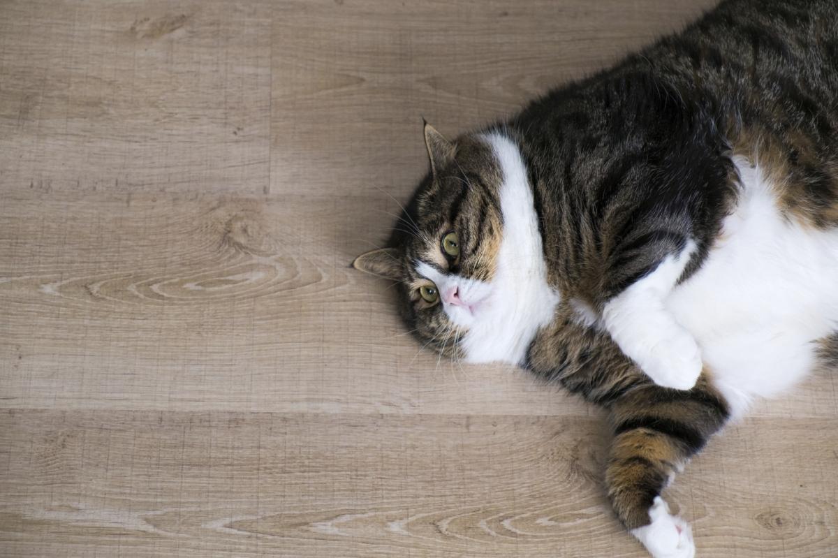 Por mais que o bichano pareça sempre faminto, não dê mais ração do que o recomendado pelo veterinário. Manter o gatinho em forma é um ato de amor e responsabilidade!