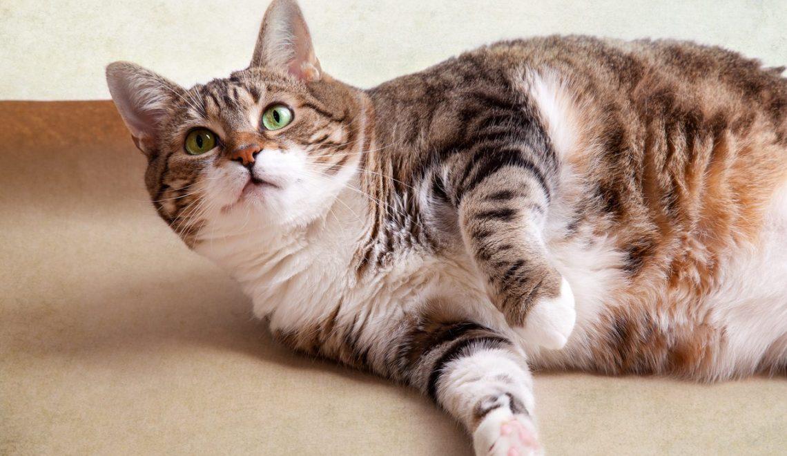 Obesidade em gatos é um problema sério e é total responsabilidade do dono controlar e manter o pet saudável.