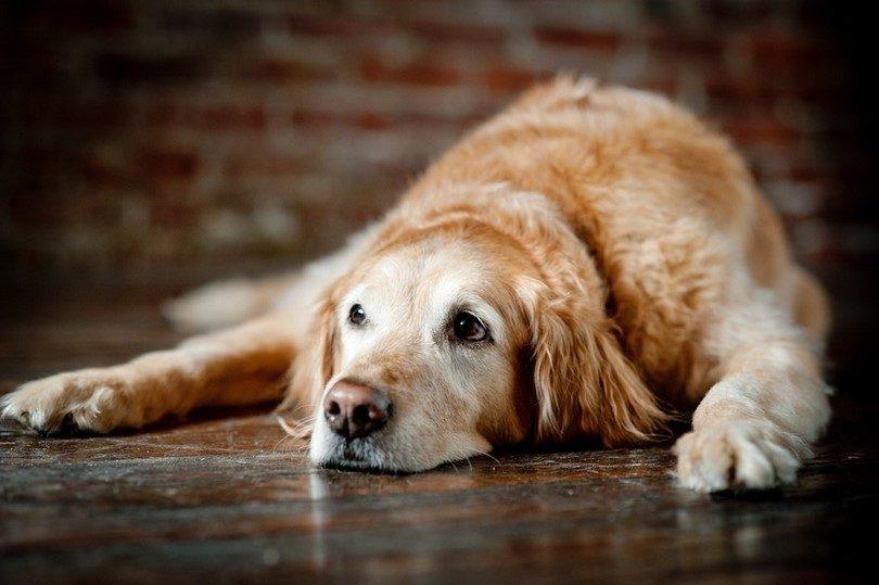 Algumas atitudes e hábitos são fundamentais para manter o bem estar do cão com síndrome cognitiva.