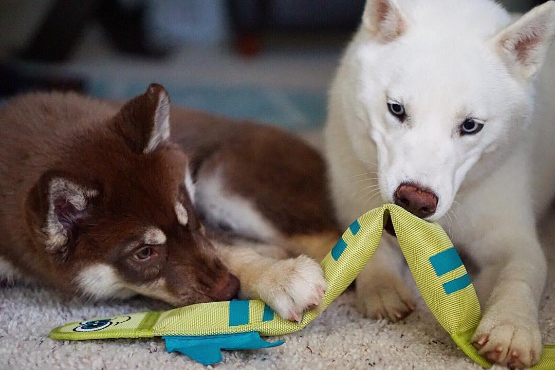 Assim que perceber que o cão começou a mastigar algo impróprio, redirecione-o para um brinquedo