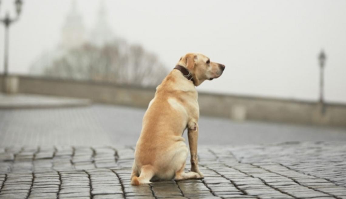 Perder ou ter o cão roubado é algo que nenhum dono quer que aconteça. Saiba as medidas de segurança que devem ser tomadas para evitar isso;