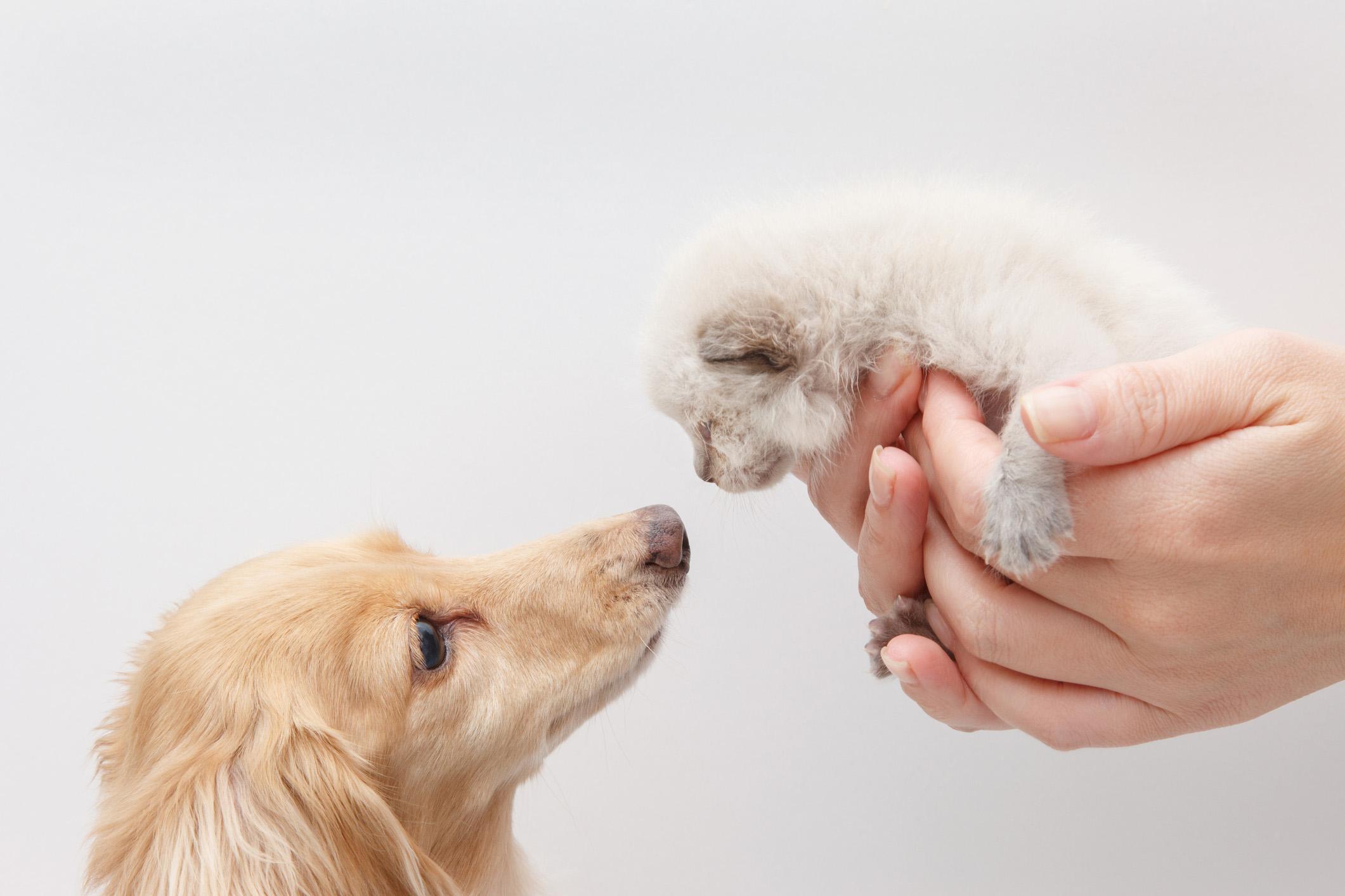 Cães e gatos devem ser apresentados gradativamente, com paciência e perseverança para que a relação entre eles funcione bem.
