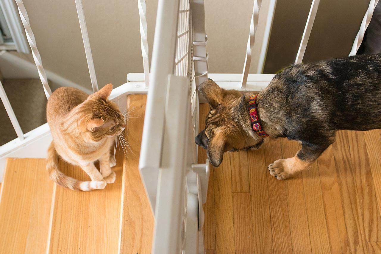 Peça ajuda de outra pessoa, e sempre supervisione os pets nessas sessões. O uso do portão de grade ajuda que eles se vejam em segurança e com a distância adequada.