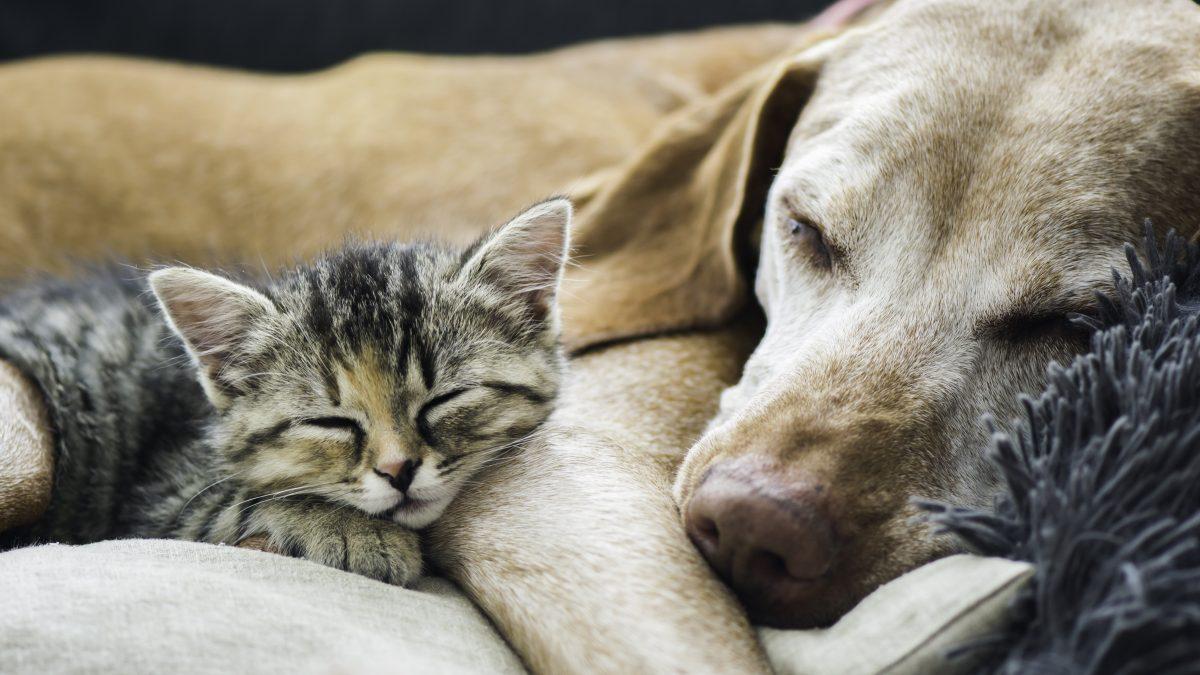 Nós esperamos que você consiga que seu cão e seu gato se tornem amigos, é muito possível!