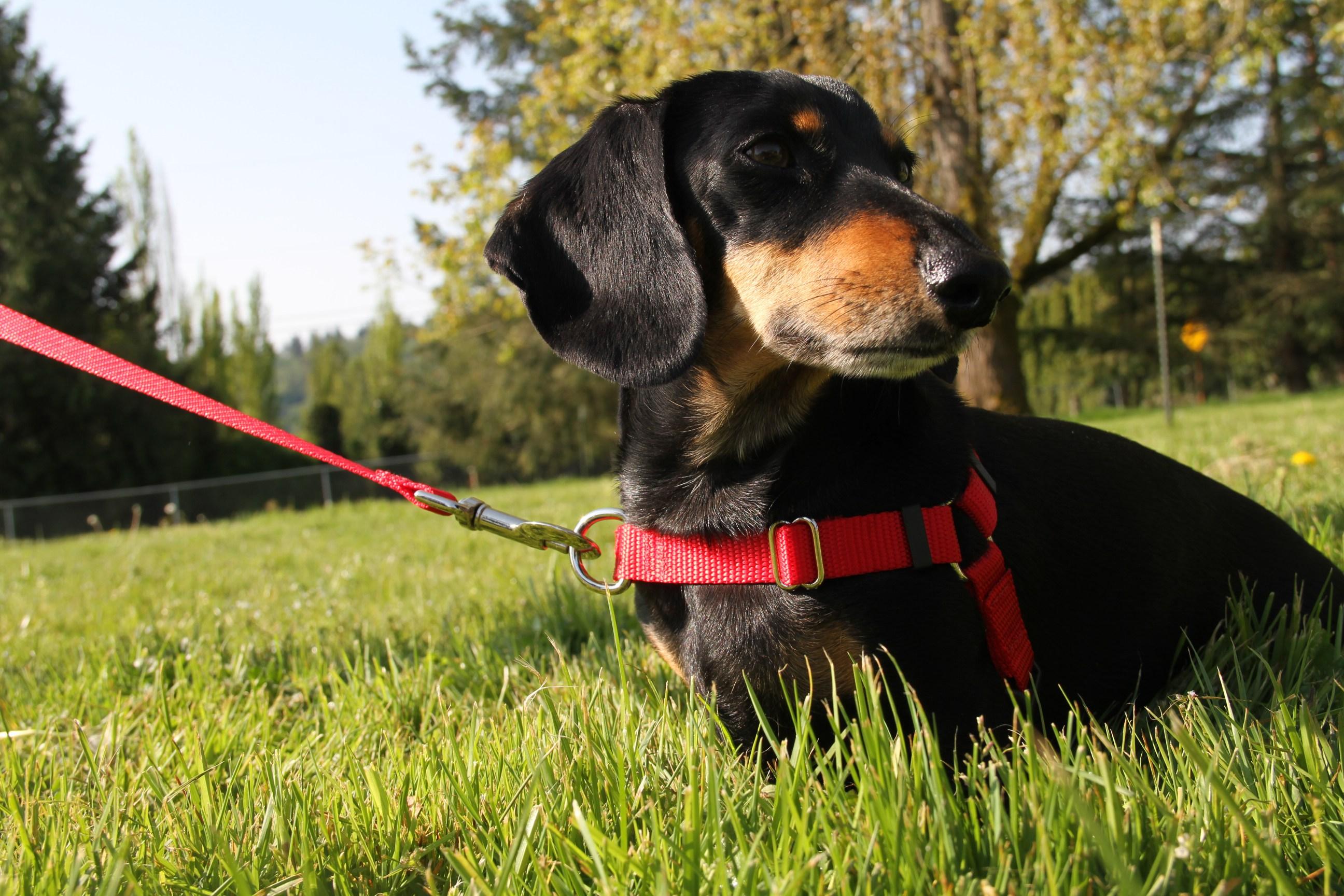 Guia presa na parte frontal do corpo do Pet ajuda muito a corrigir cães que puxam durante o passeio.
