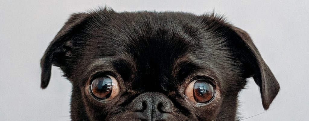 O que está por trás do olhar do seu cão para você? Já pegou ele te encarando e ficou se perguntando o que ele estava pensando? Vem ver as possibilidades!