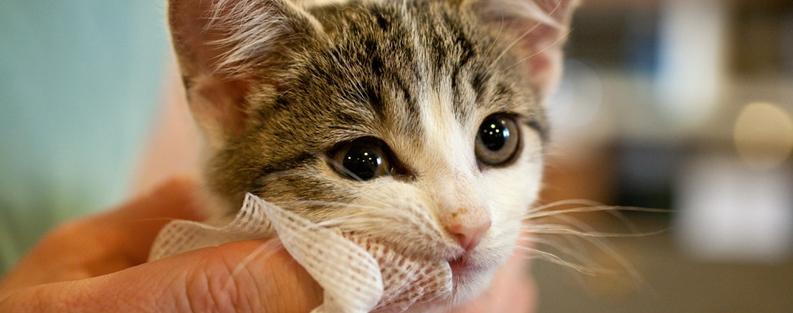 A troca de dentes é um incômodo para os gatinhos, evite a escovação de dentes durante esse período.