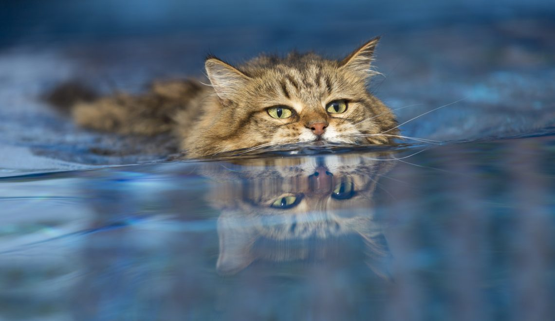 Algumas raças de gato, não só gostam de água, como são excelentes nadadores.