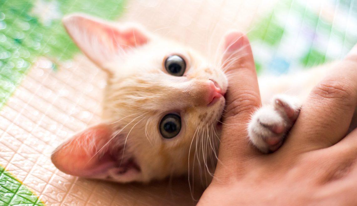 Saiba tudo sobre troca de dentes dos gatinhos