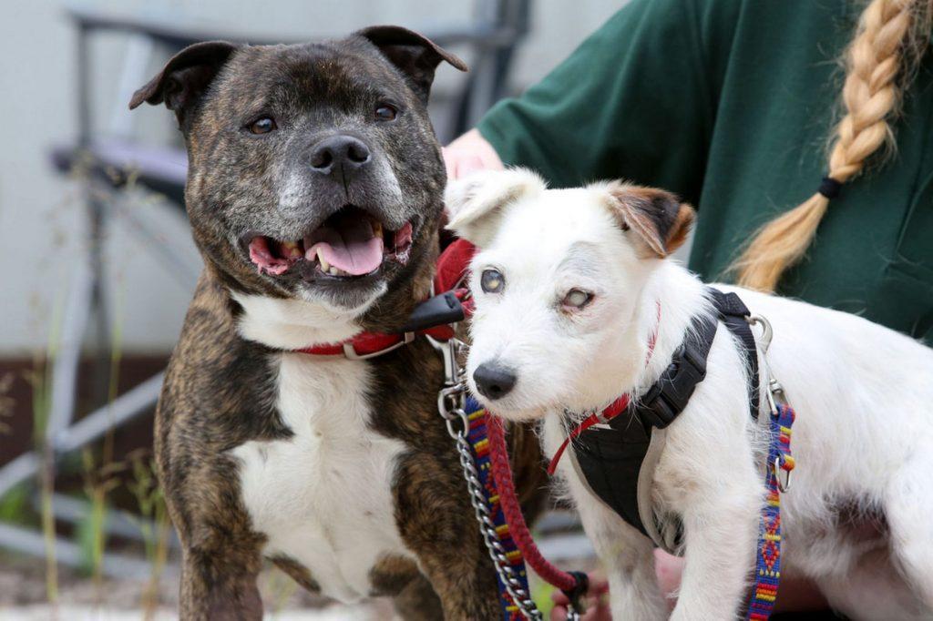 Nessa foto o cãozinho cego tem o apoio do cão amigo com boa visão!